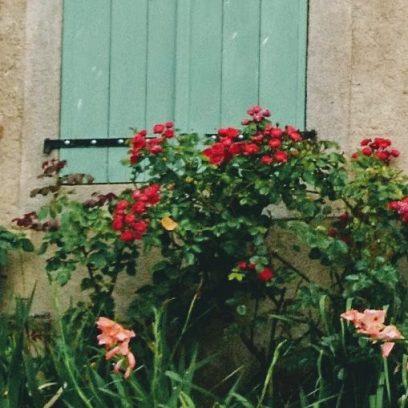 Roses climbing
